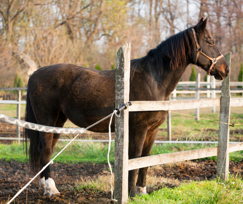 brown warm blooded horse