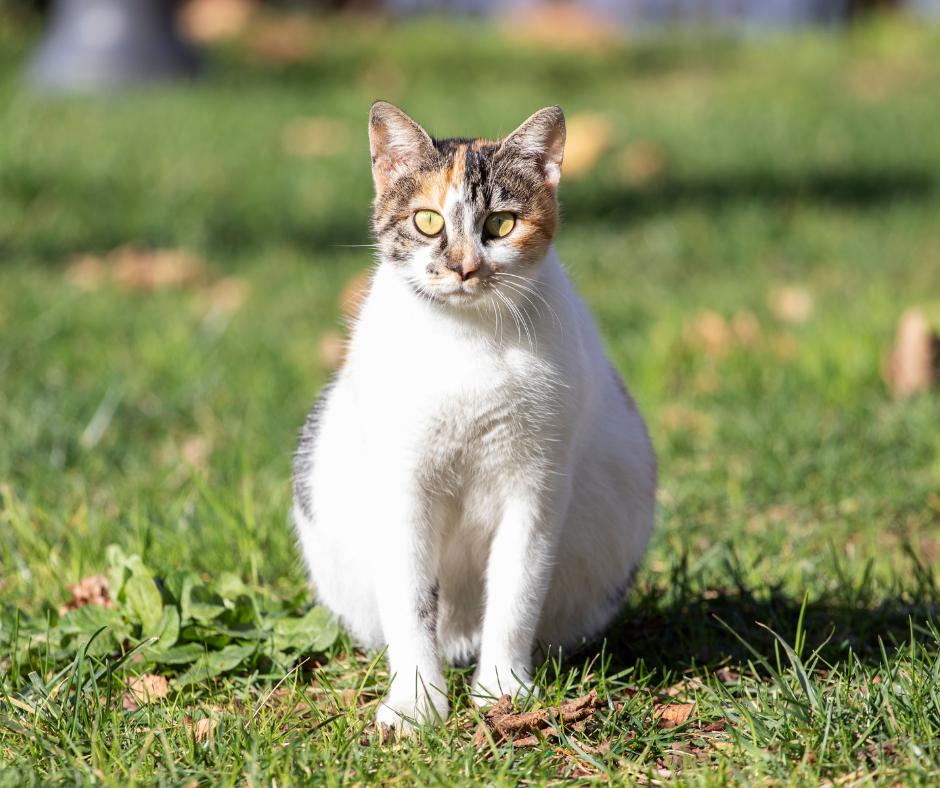 pregnant cat 1 I Love Veterinary - Blog for Veterinarians, Vet Techs, Students