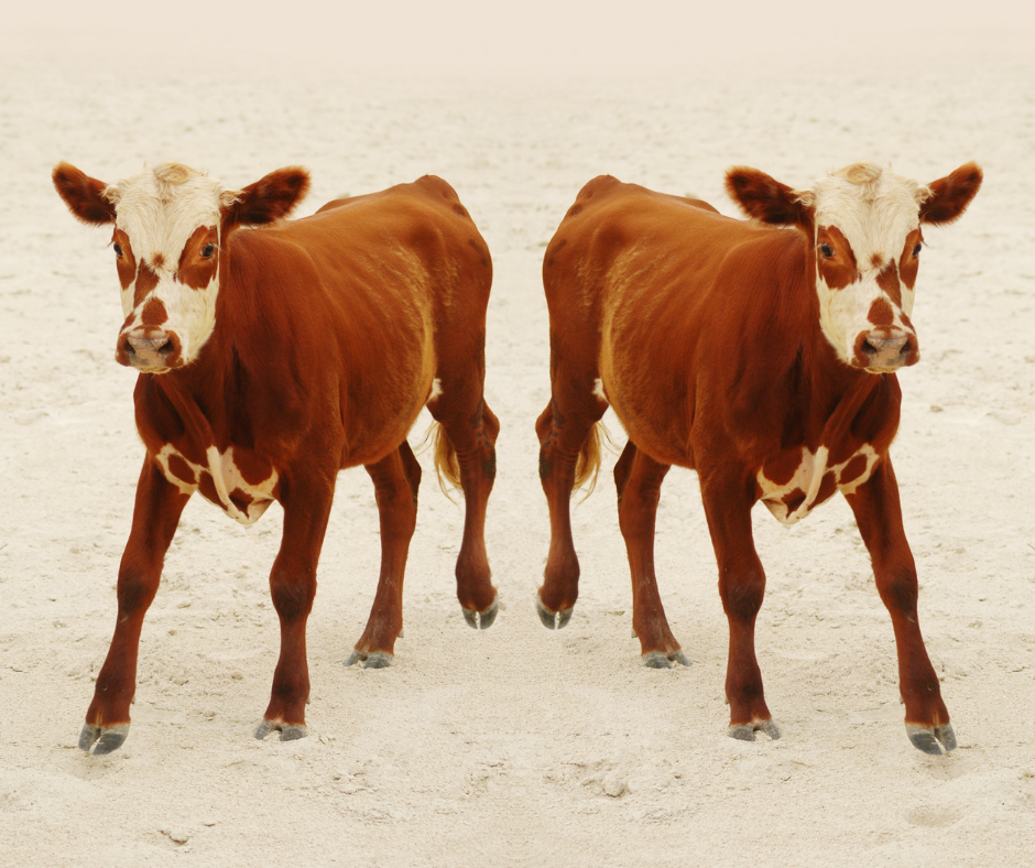 twin calfs from animal cloning