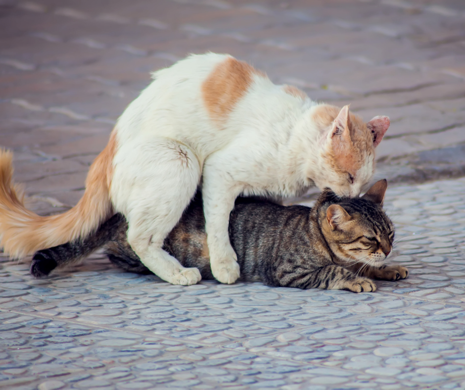 two cats making love